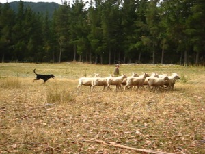 sheep-dogs-2