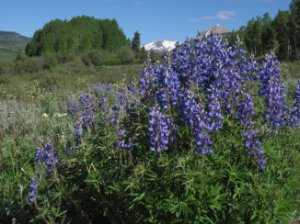 Love the Lupine!