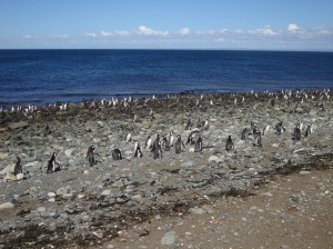 So Many Penguins!