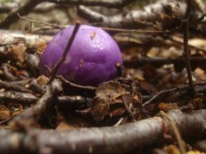 Yea - Purple Mushrooms!  Amazing