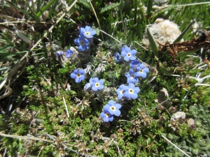 One of my favorites: Alpine Forget-me-nots
