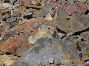 "This little Pika makes ""hay"" to sustain it during the long winter.   They are sure cute!"