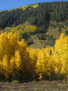 The Aspens have really been showing their colors this fall!