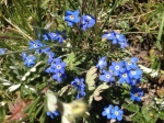 Alpine Forget-Me-Nots.  One of my favorites