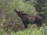 This Moose wasn't too worried about me being there