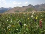 These were Monkshoods blooming in a field of Alpine Flowers - go figure ...