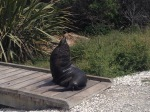 This seal was at Kaikoura and insisted on posing for us!