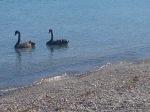 Black Swans in Taupo