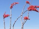 Ocotillo blooming