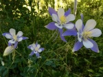 Columbines in the forest