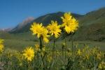 Sunflowers - facing East