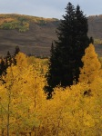 I love the dark Spruce next to the Aspens